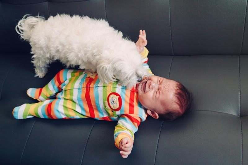 Crying screaming Caucasian baby girl boy lying on bed couch with white dog by his side. stock photos