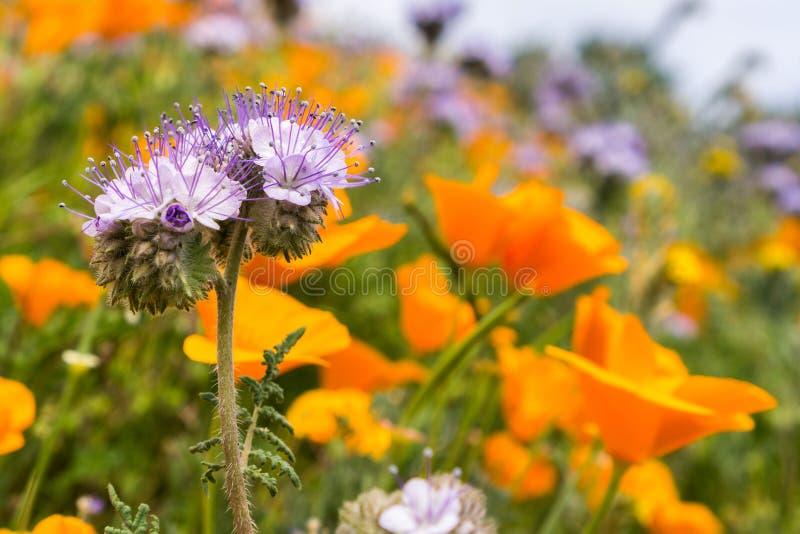 Cryptantha di Lacy Phacelia Phacelia che fiorisce fra i papaveri di California fotografia stock