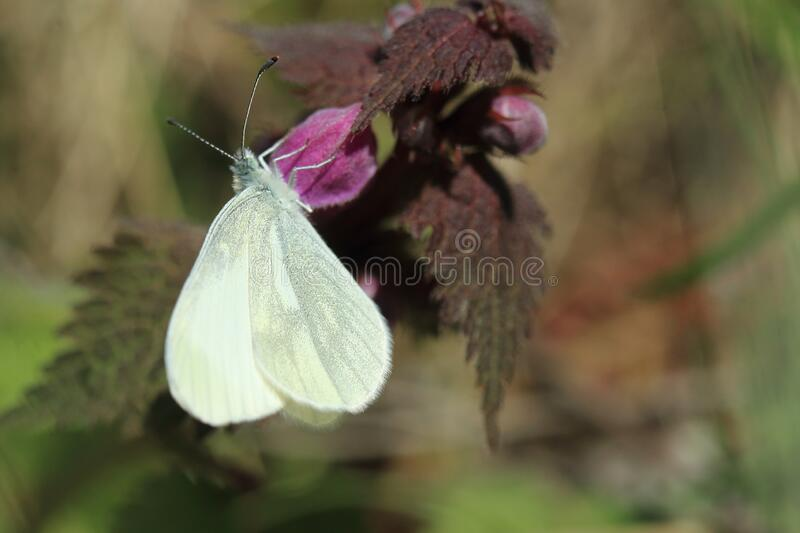 Cryptic wood white butterfly royalty free stock photo