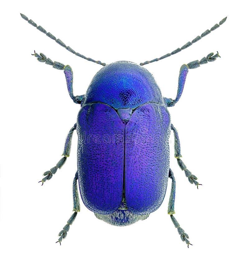 Free Cryptocephalus Sericeus, Blue Specimen Isolated On White Backrgound Royalty Free Stock Image - 131544316