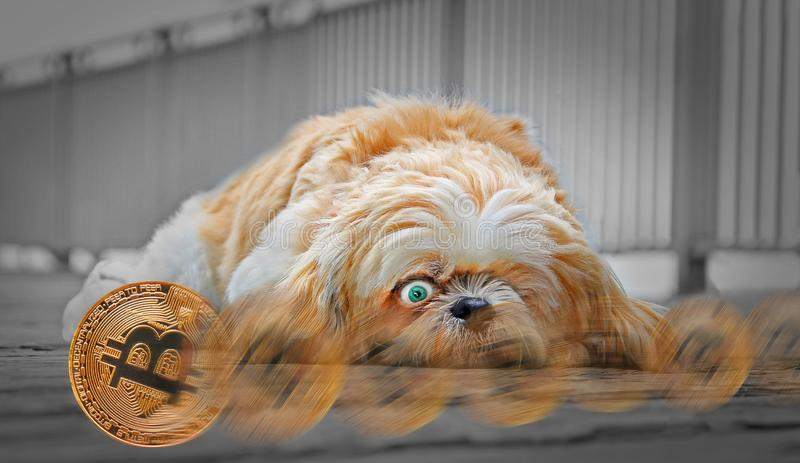 Cryptocurrency de bitcoin d'or passant le chien de sommeil photos stock