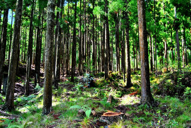 Cryptomeria forest in Reunion Island. Japanese trees. Cryptomeriajaponica forest in Reunion Island. Japanese trees. Sugi. Sapin creole. Cupressaceae royalty free stock photography