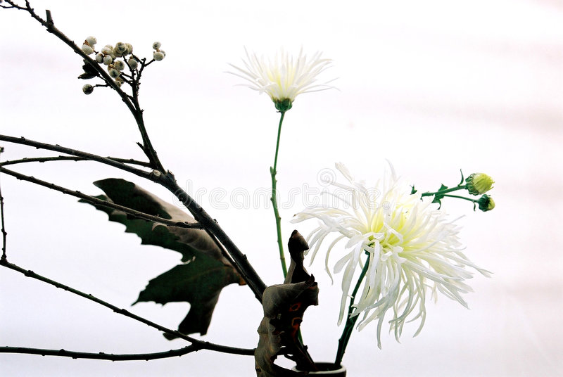 crysanthemum花 库存图片