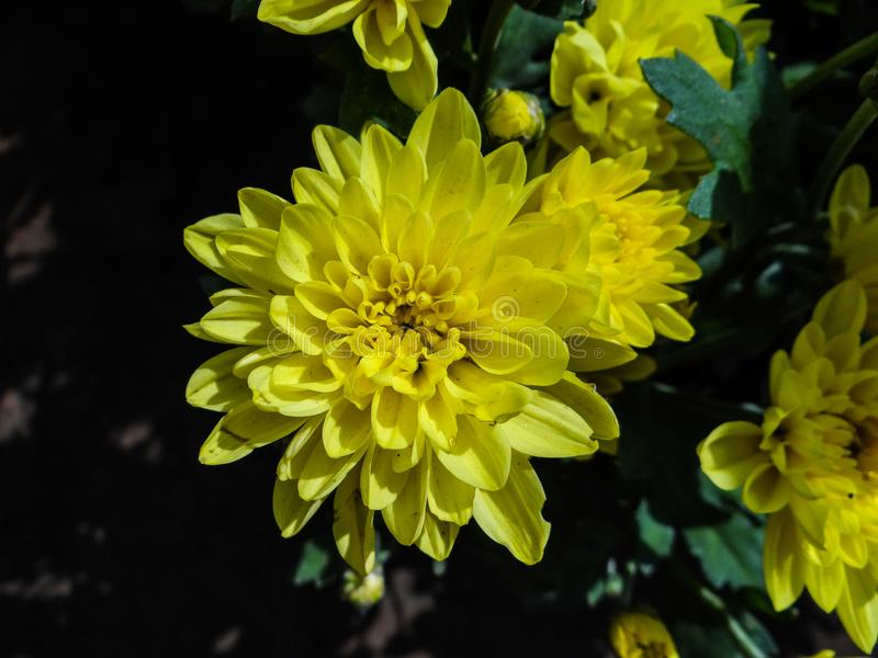 Crysanthemum foto de stock royalty free