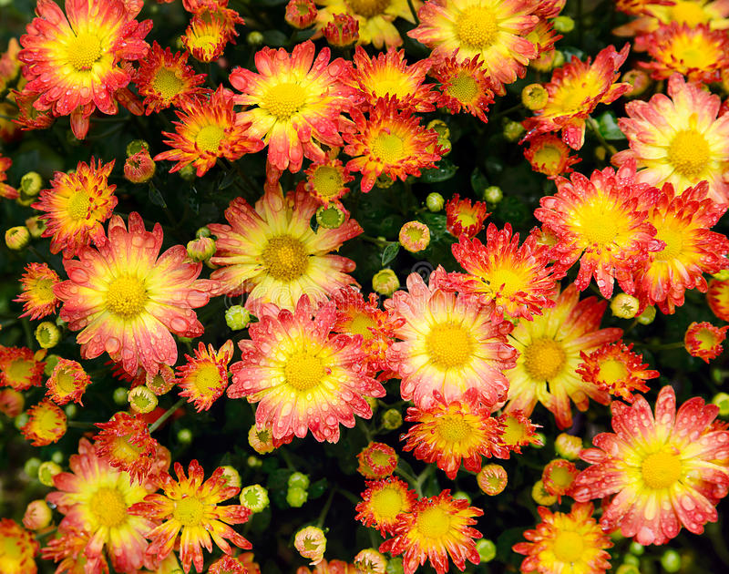 Download Crysanthemums in the Rain stock image. Image of flower - 39508897