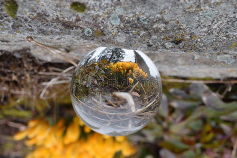 Crystal Ball e croco di fioritura giallo fotografia stock