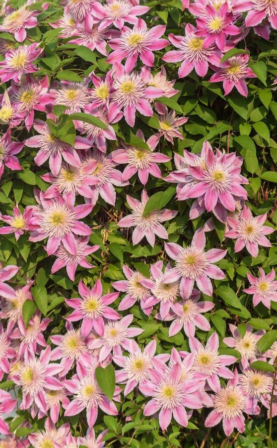 """Crystal Fountain des clématites """"fleurissant au printemps image stock"""