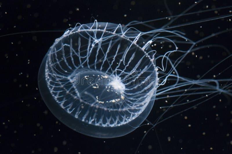 Crystal Jellyfish stock photos