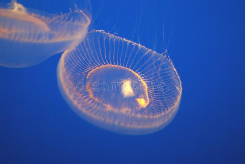 Crystal Jellyfish, Aequorea aquário de victoria, Monterey, EUA fotografia de stock royalty free