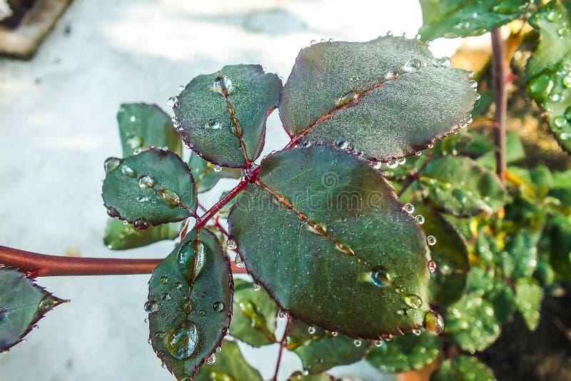 Crystal Necklace av regndroppar på Rose Leaf royaltyfria bilder