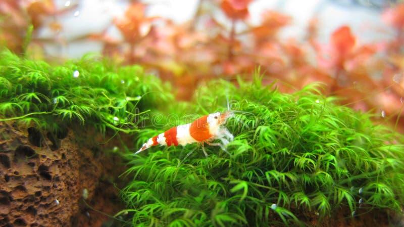 Crystal Red Shrimp royalty free stock photos
