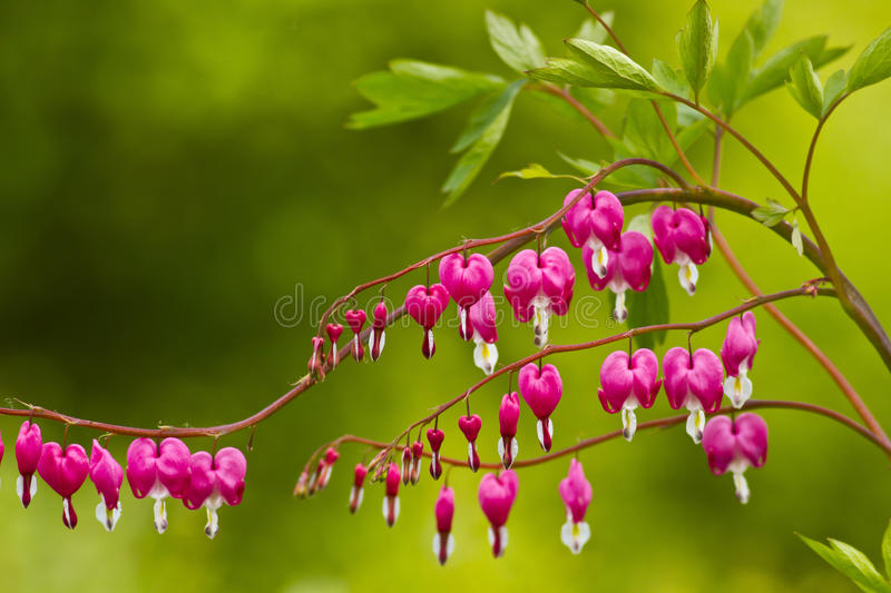 Dicentra spectabilis. Is also called crystal showy bleeding heart royalty free stock photo