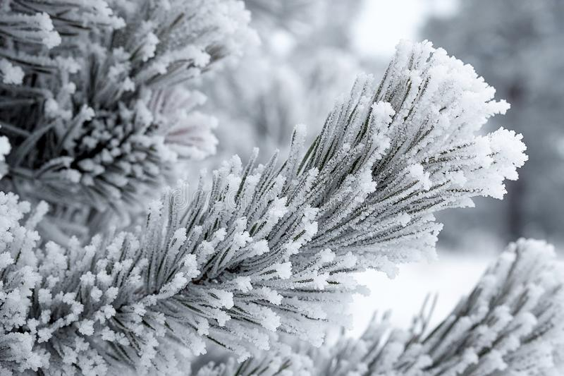 Crystals of frost on pine branches in winter during severe frosts stock photos