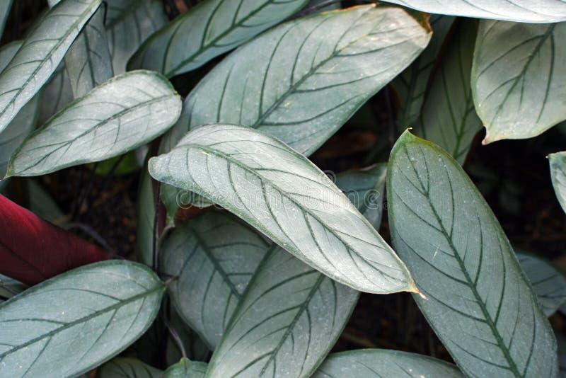Ctenanthe Setosa灰色星植物离开与银色颜色和黑暗的叶子静脉 库存照片