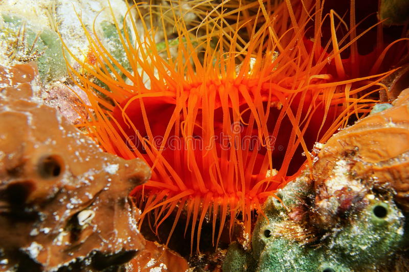 Ctenoides scaber Flame scallop and its tentacles. Underwater creature, close-up of Ctenoides scaber, Flame scallop bivalve mollusk and its tentacles, Caribbean royalty free stock image
