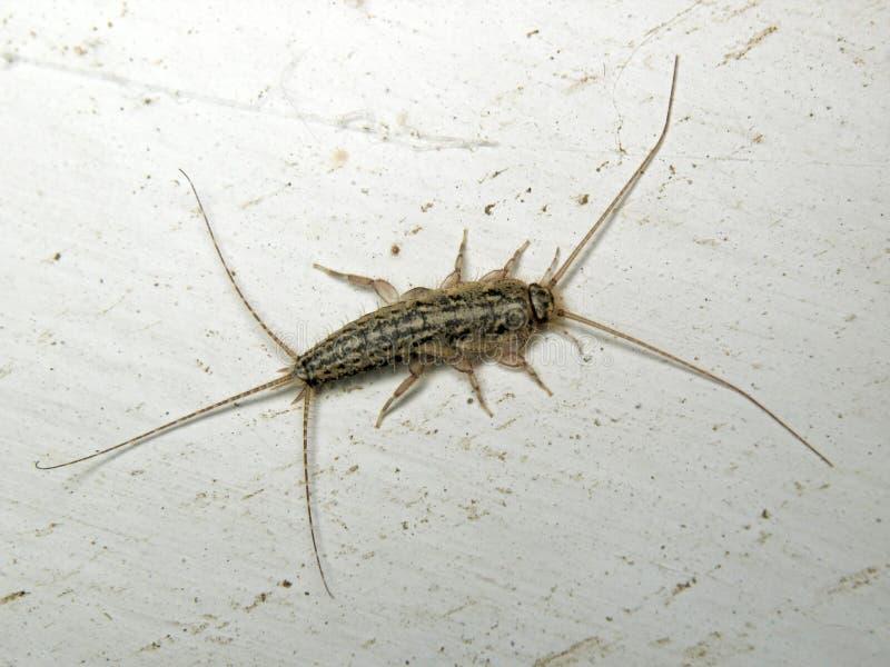 Ctenolepisma lineata 图库摄影