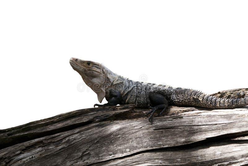 Ctenosaur stockbild