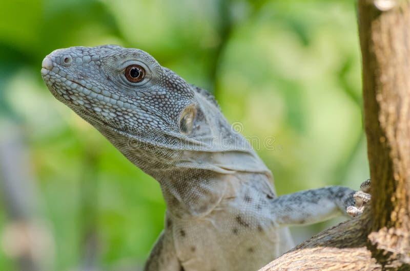 Ctenosaura-pectinata stockbild