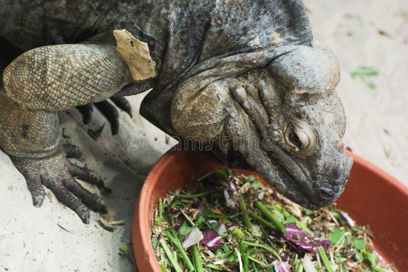 Ctenosauramelanosterna in terrarium royalty-vrije stock foto