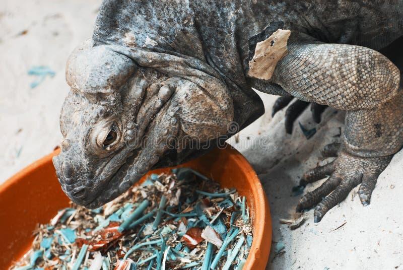 Ctenosauramelanosterna in terrarium royalty-vrije stock afbeeldingen