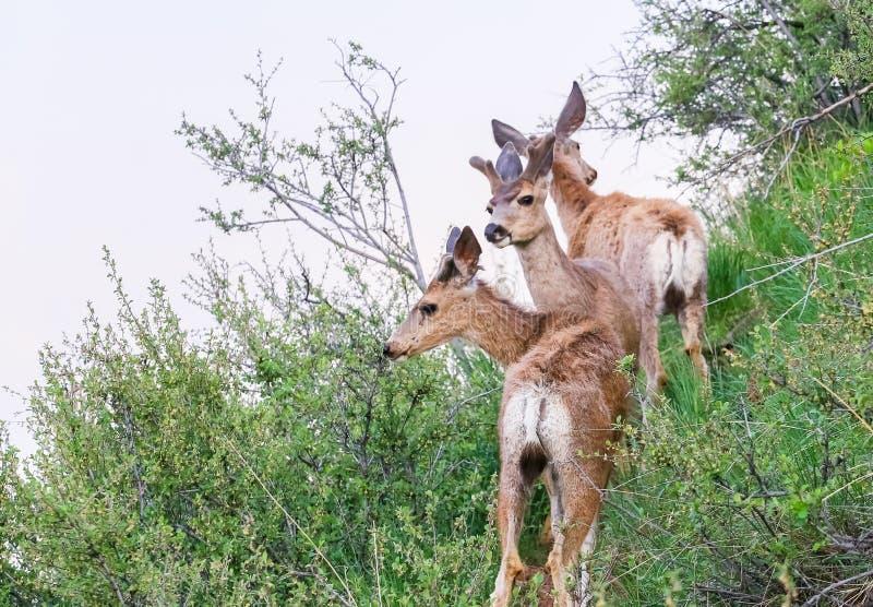 Cuadrilla de los ciervos mula foto de archivo libre de regalías