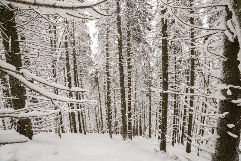 Cuadro hermoso del invierno Árboles altos de la picea cubiertos con nieve profunda y helada en fondo claro del cielo Feliz A?o Nu fotografía de archivo