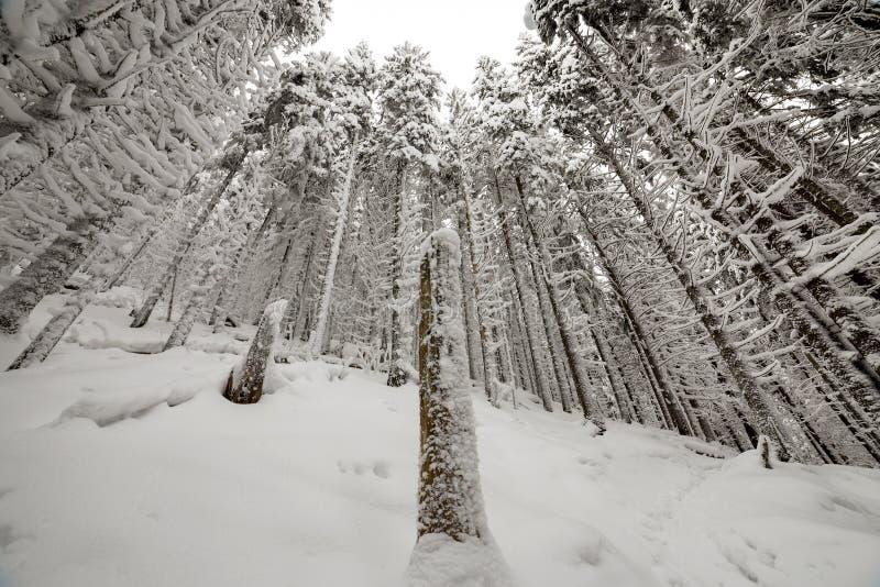 Cuadro hermoso del invierno Árboles altos de la picea cubiertos con nieve profunda y helada en fondo claro del cielo Feliz A?o Nu imagen de archivo libre de regalías