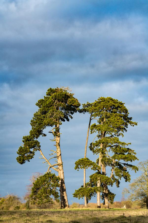 Cuatro árboles de pino altos en un paisaje de Cotswold imagenes de archivo