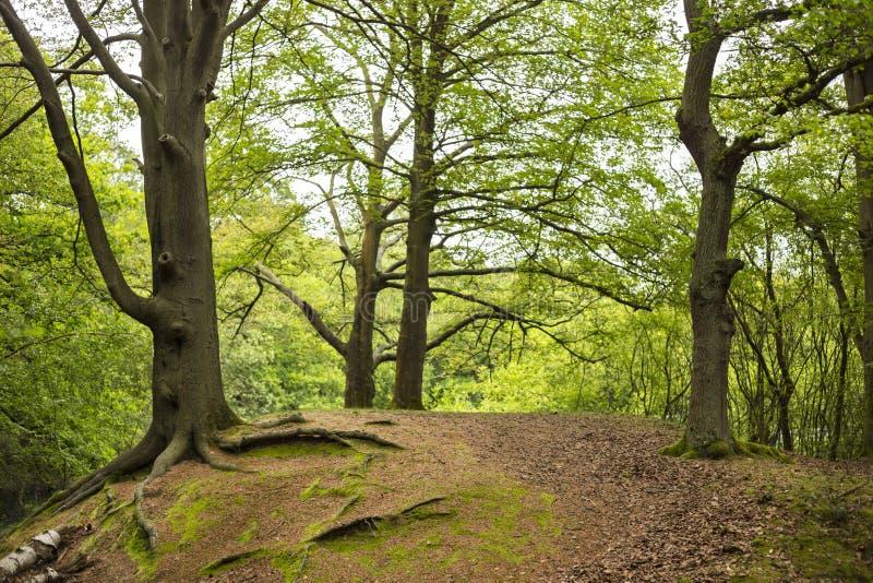 Cuatro árboles en la colina imagen de archivo