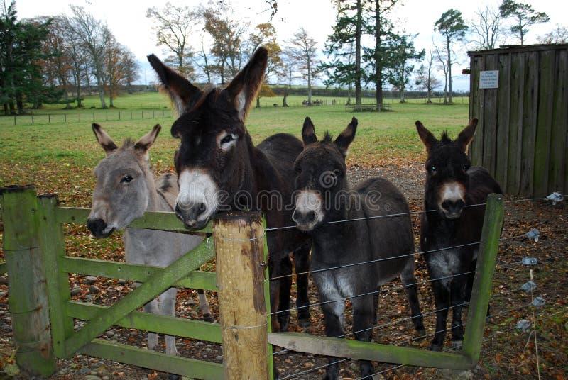 Cuatro burros rescatados foto de archivo libre de regalías
