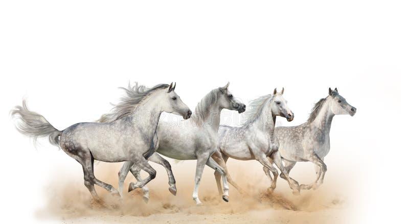 Cuatro caballos árabes hermosos fotografía de archivo libre de regalías
