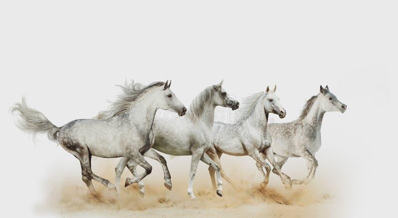Cuatro caballos árabes hermosos imágenes de archivo libres de regalías