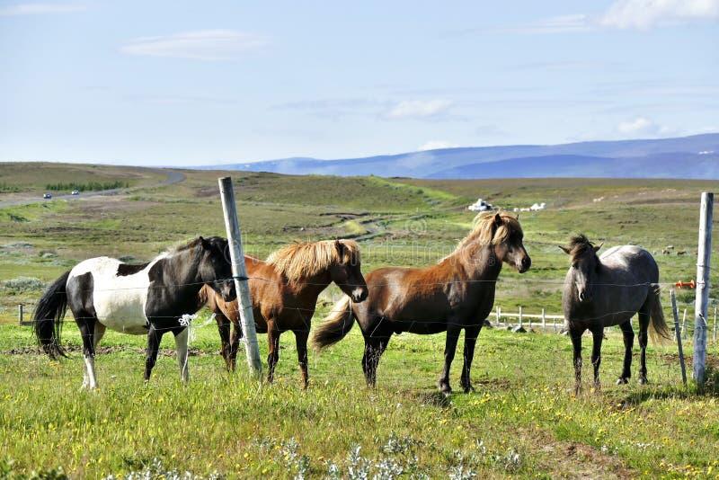 Cuatro caballos islandeses hermosos en un pasto cerca de Husavik fotos de archivo