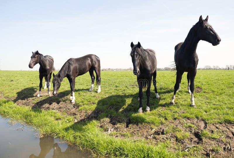 Cuatro caballos oscuros en prado herboso verde cerca loenen en la provincia holandesa de Utrecht fotos de archivo libres de regalías