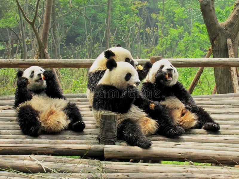 Cuatro cachorros de la panda gigante que comen la fruta en una reserva en la provincia de Sichuan China fotografía de archivo libre de regalías
