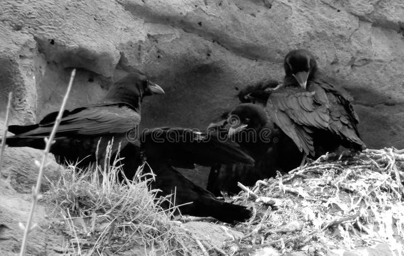 Cuatro Carrion Crows fotografía de archivo libre de regalías
