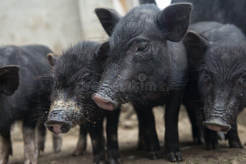 Cuatro cerdos foto de archivo libre de regalías