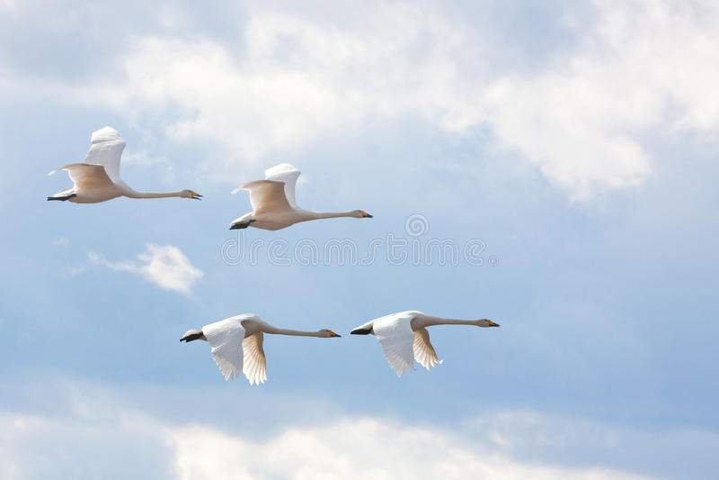 Cuatro cisnes de whooper. foto de archivo