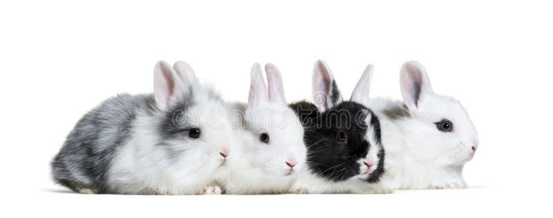 Cuatro conejos jovenes, 8 semanas de viejo imagen de archivo