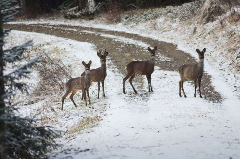 Cuatro dears que cruzan el camino foto de archivo libre de regalías