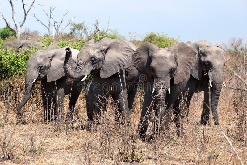 Cuatro elefantes grandes se cierran para arriba en el parque nacional de Chobe, en safari en Botswana, África meridional imagen de archivo libre de regalías