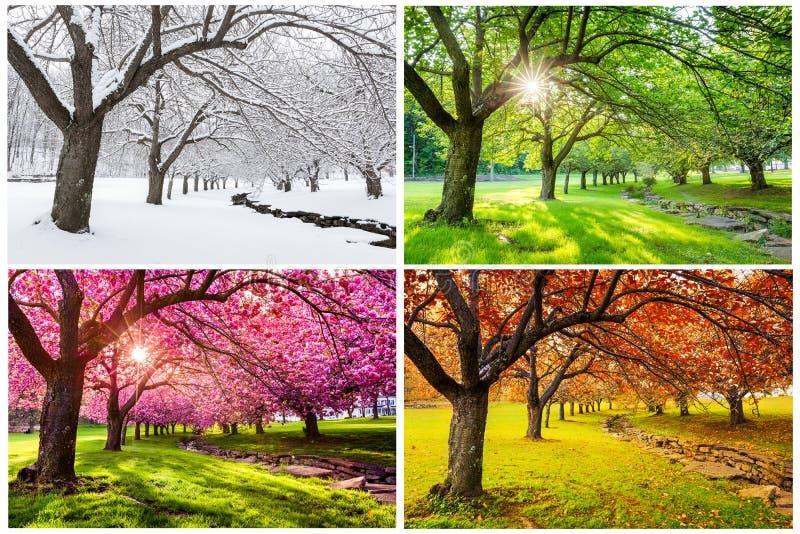 Cuatro estaciones con los cerezos japoneses foto de archivo