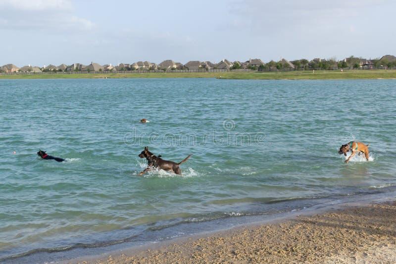 Cuatro excitaron los perros que jugaban en una charca de la retención del parque del perro imagen de archivo libre de regalías