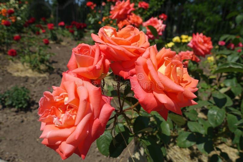 Cuatro flores de rosa del rosa de color salmón fotografía de archivo