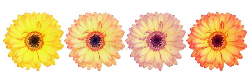 cuatro flores magníficas hermosas del gerbera aisladas en blanco fotos de archivo