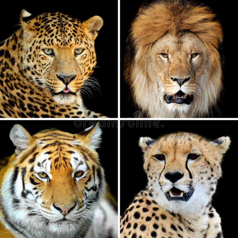 Cuatro gatos salvajes grandes imagen de archivo