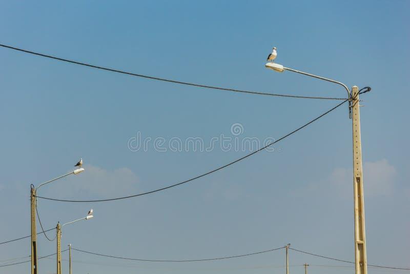 Cuatro gaviotas encima de las lámparas de calle conectadas con las líneas eléctricas, L foto de archivo libre de regalías
