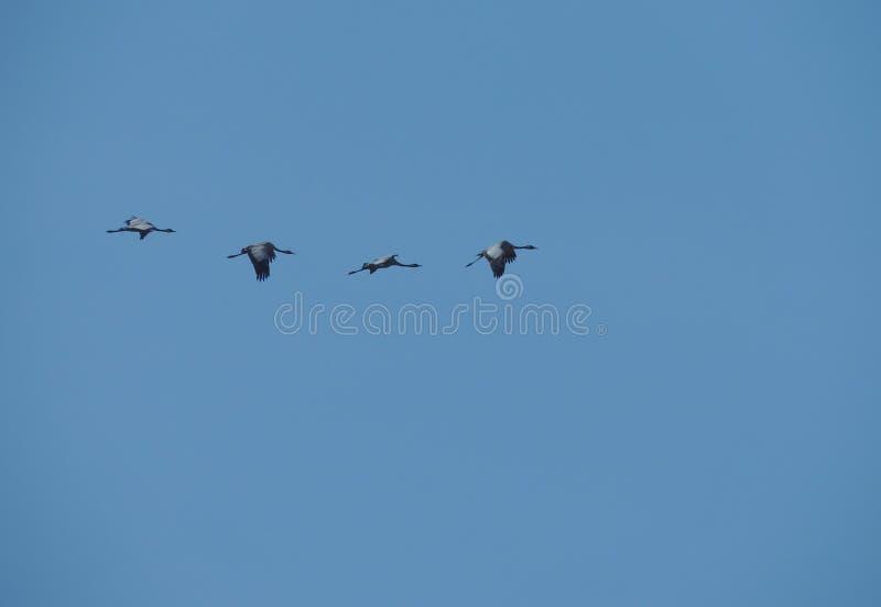 Cuatro Grey Herons foto de archivo libre de regalías