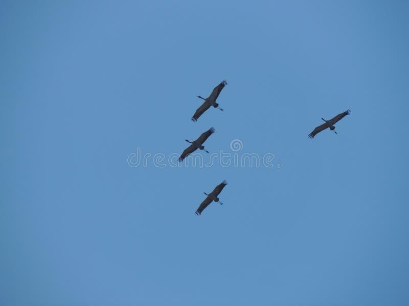 Cuatro Grey Herons fotos de archivo
