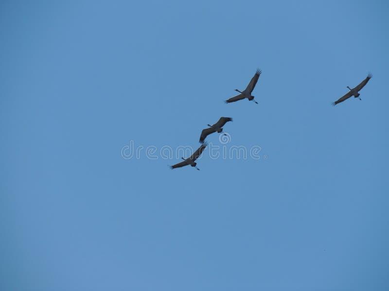Cuatro Grey Herons en vuelo imagen de archivo libre de regalías